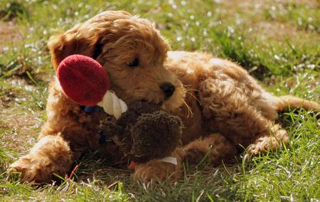 Webster the Goldendoodle Pictures 673925