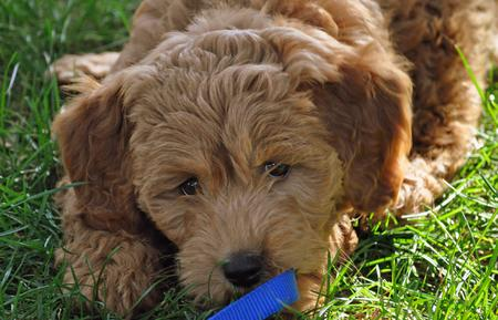 Webster the Goldendoodle Pictures 673926