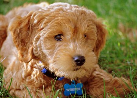 Webster the Goldendoodle Pictures 673927
