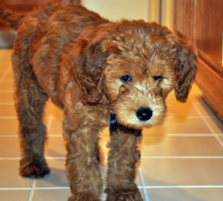 Webster the Goldendoodle Pictures 673928