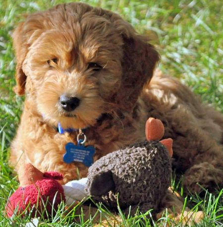 Webster the Goldendoodle Pictures 673929