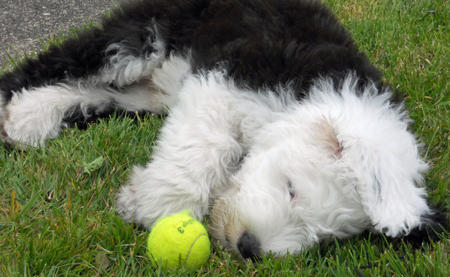 Wellington the Old English Sheepdog Pictures 1057955