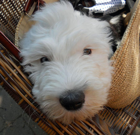 Wellington the Old English Sheepdog Pictures 1057956