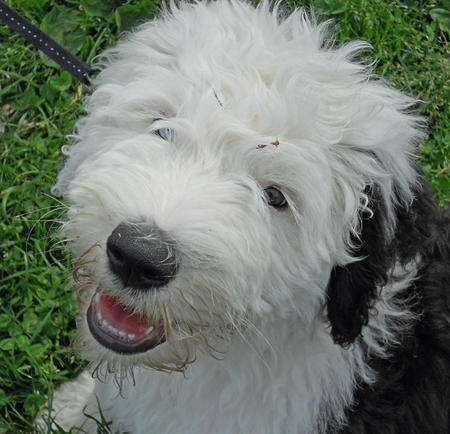Wellington the Old English Sheepdog Pictures 1057957