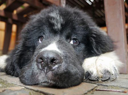Wendell the Newfoundland Pictures 1043266