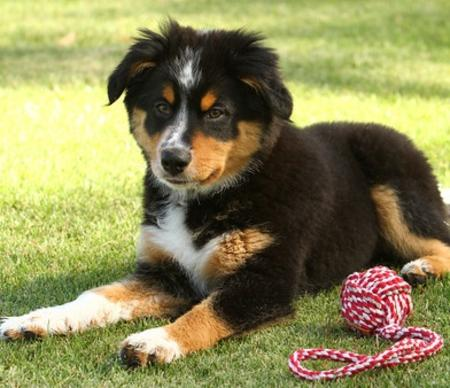 Wendy the Australian Shepherd Mix Pictures 793627