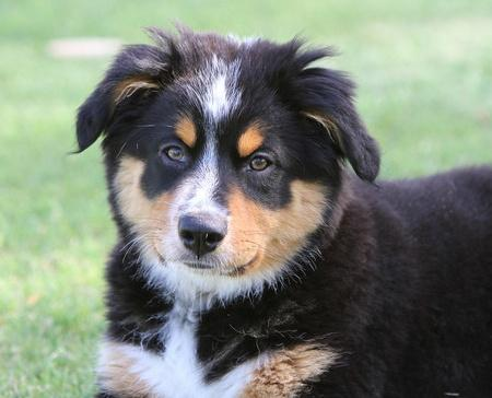 Wendy the Australian Shepherd Mix Pictures 793628