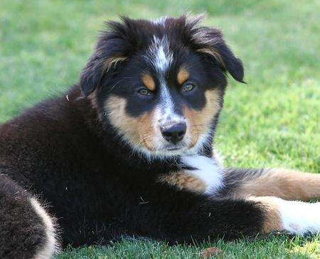 Wendy the Australian Shepherd Mix Pictures 793630