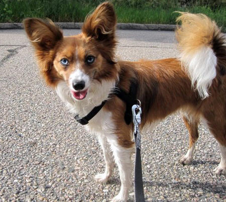 Wendy the Papillon Mix Pictures 782532