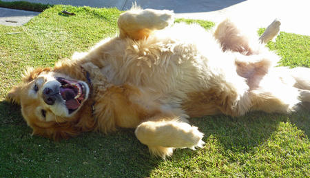 Wesley the Golden Retriever Pictures 956267
