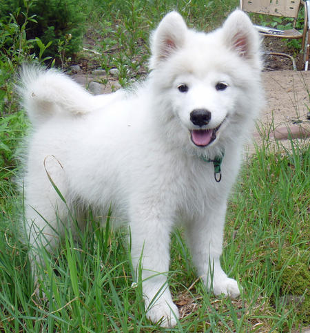 Wesley the Samoyed Pictures 827039