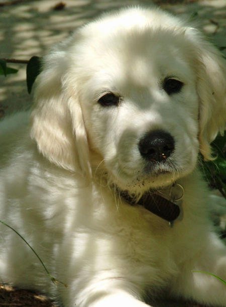 Wesli the Golden Retriever Pictures 846397