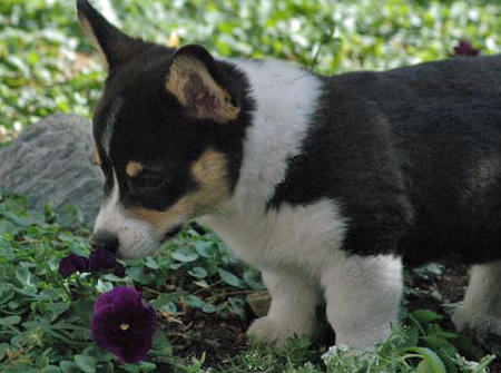 Whiskey the Pemboke Welsh Corgi Pictures 472623
