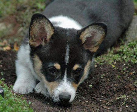 Whiskey the Pemboke Welsh Corgi Pictures 472624