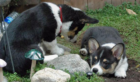 Whiskey the Pemboke Welsh Corgi Pictures 472625