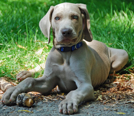 Whiskey the Weimaraner Pictures 483796