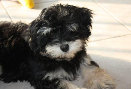 Whisky the Havanese Pictures 1056296