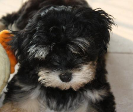 Whisky the Havanese Pictures 1056297