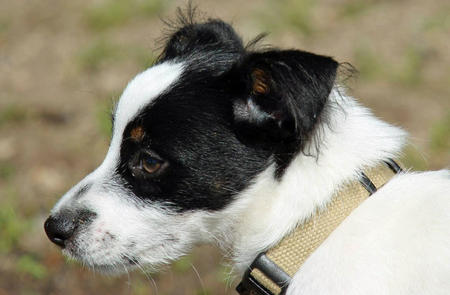 William the Jack Russell Terrier Pictures 1034762