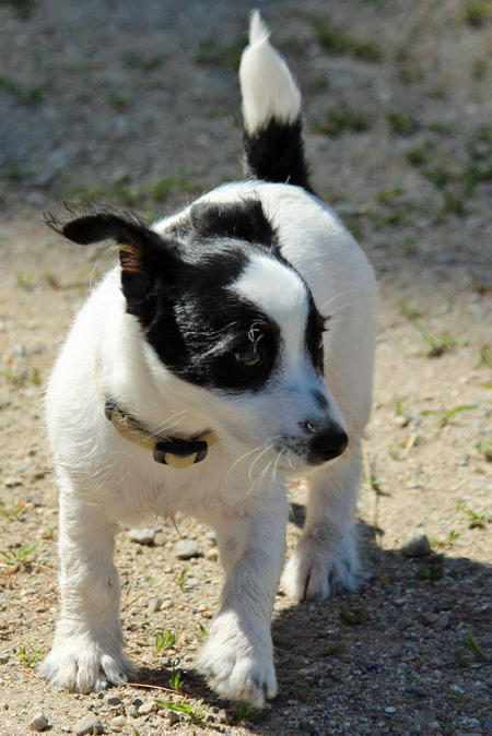 William the Jack Russell Terrier Pictures 1034764