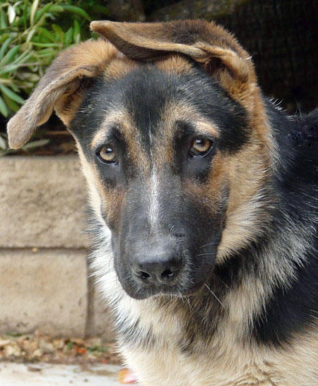 Willie the Adoptable German Shepherd Mix Pictures 625504
