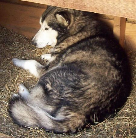 Willie the Alaskan Malamute Pictures 810856