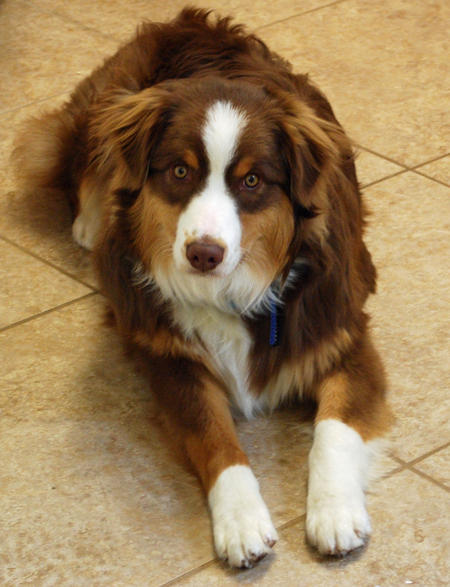 Willoughby the Australian Shepherd Pictures 564336