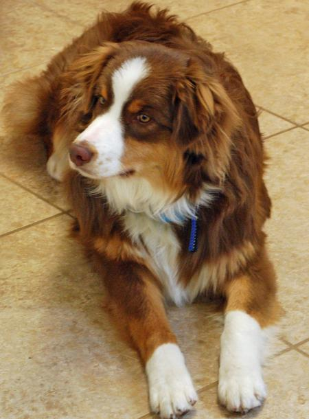 Willoughby the Australian Shepherd Pictures 564340