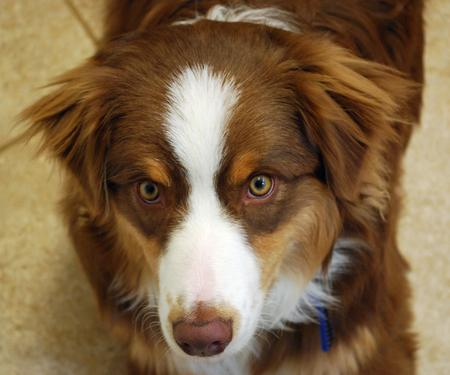 Willoughby the Australian Shepherd Pictures 564335