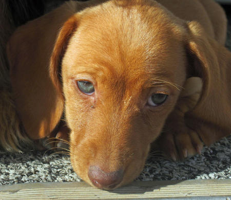 Willow the Dachshund Pictures 759531