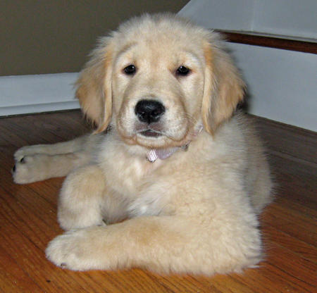 Willow the Golden Retriever Pictures 857622