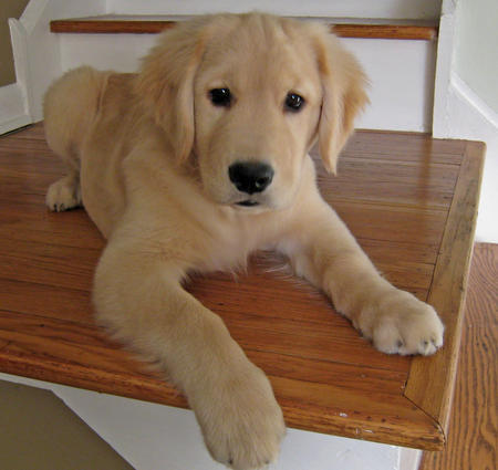Willow the Golden Retriever Pictures 857624