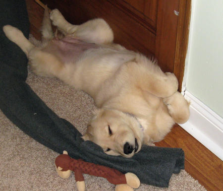 Willow the Golden Retriever Pictures 857625