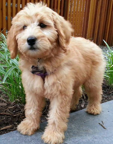 Willow the Labradoodle Pictures 991193