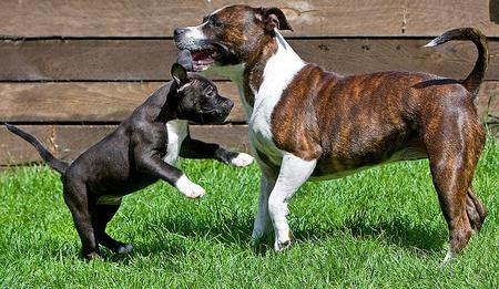 Willow the Staffordshire Bull Terrier Pictures 694266