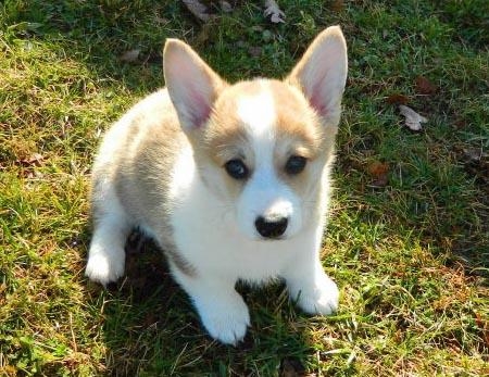 Wilson the Corgi Pictures 953020