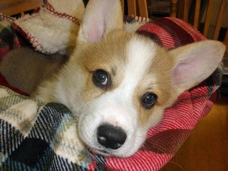 Wilson the Corgi Pictures 953023