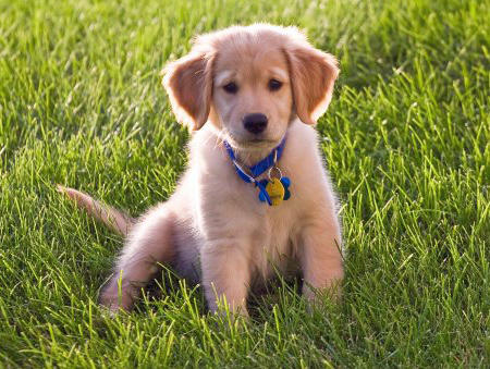Wilson the Golden Retriever Pictures 844757