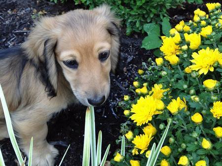 Winnie the Dachshund Pictures 929030