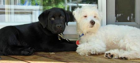 Winnie the Labrador Retriever Pictures 1044605