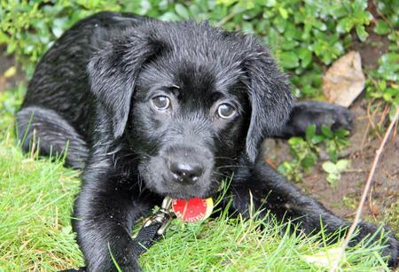 Winnie the Labrador Retriever Pictures 1044607