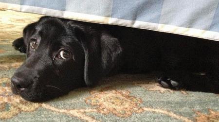 Winnie the Labrador Retriever Pictures 1044608