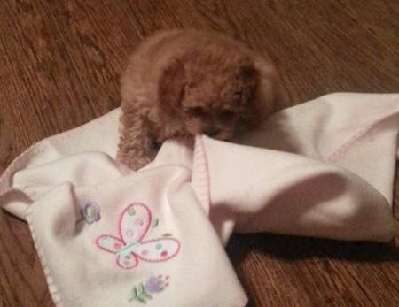 Winnie the Poodle Pictures 993332