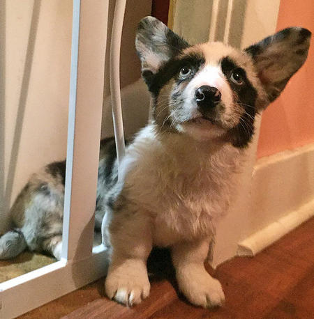 Winslow the Cardigan Welsh Corgi Pictures 1052744