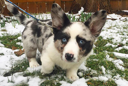 Winslow the Cardigan Welsh Corgi Pictures 1052745