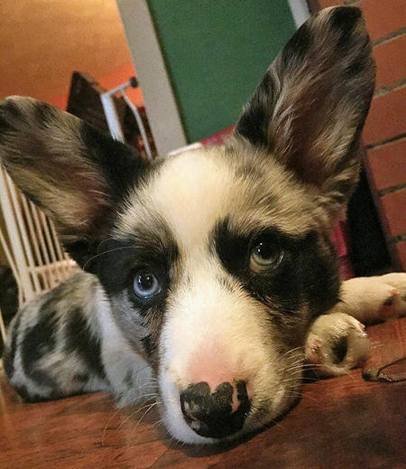Winslow the Cardigan Welsh Corgi Pictures 1052746