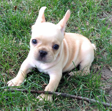Winston the French Bulldog Pictures 1026686
