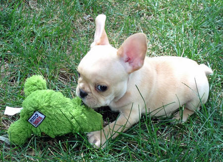 Winston the French Bulldog Pictures 1026688