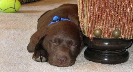 Winston the Labrador Retriever Pictures 452272