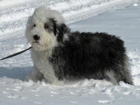 Winston the Old English Sheepdog Pictures 1012732
